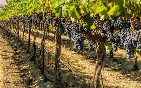 Фото виноградники на 1 стор
